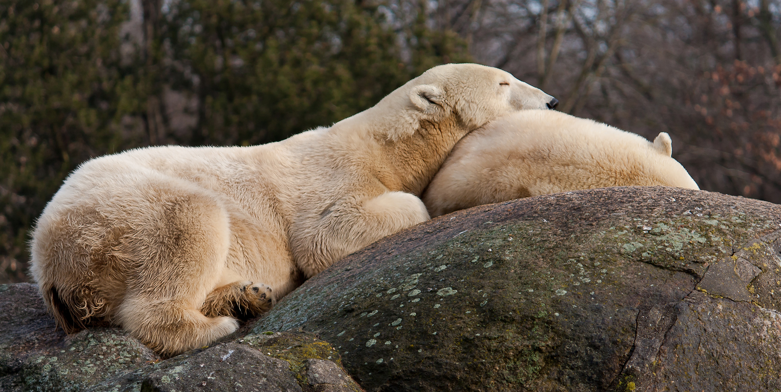 sleeping polarbear