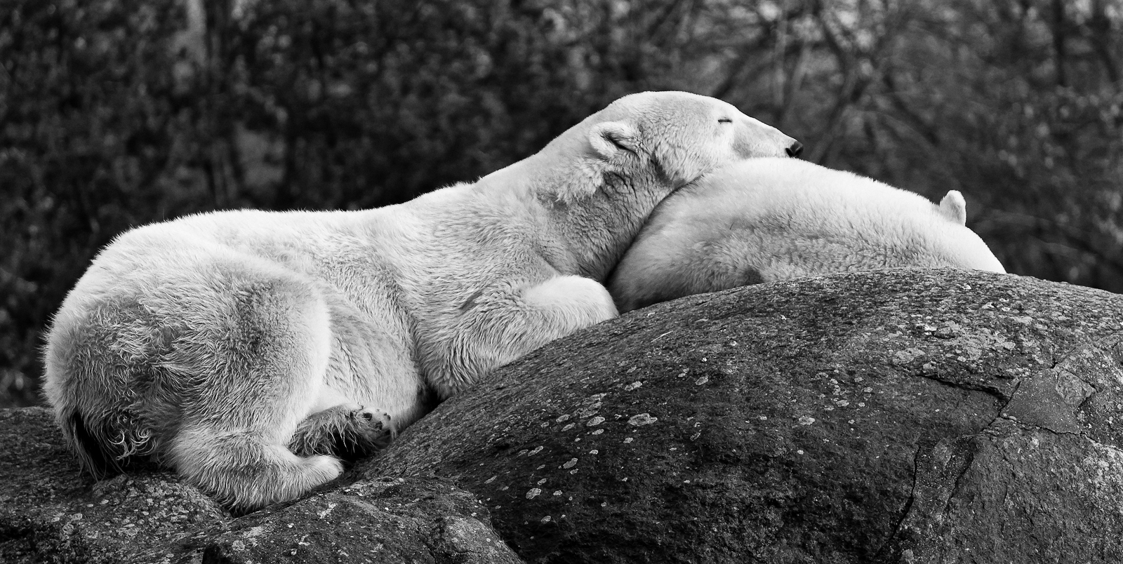 sleeping polarbear SW